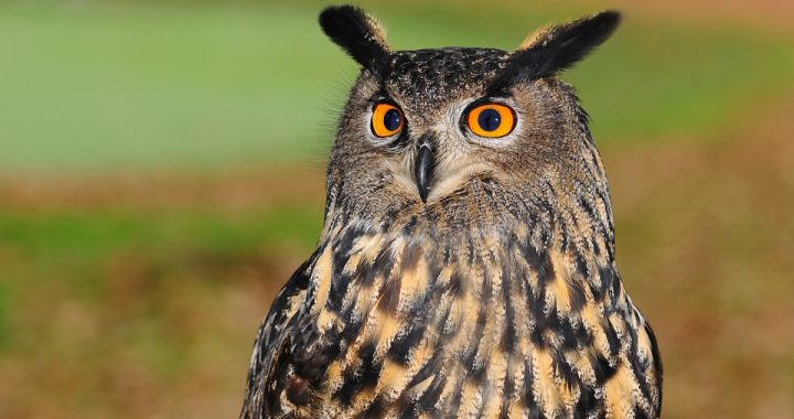 Brown owl with orange eyes